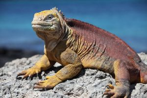 Galapagos-land-iguana-viewed-yacht-charter