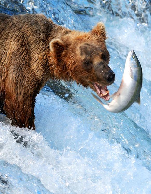 BearCatchingSalmon_Alaska__M-Y_BigEagle