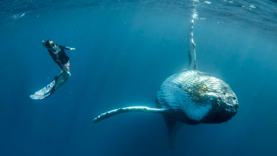 Humpback whale underwater with snorkeler from sailing catamaran LOLALITA